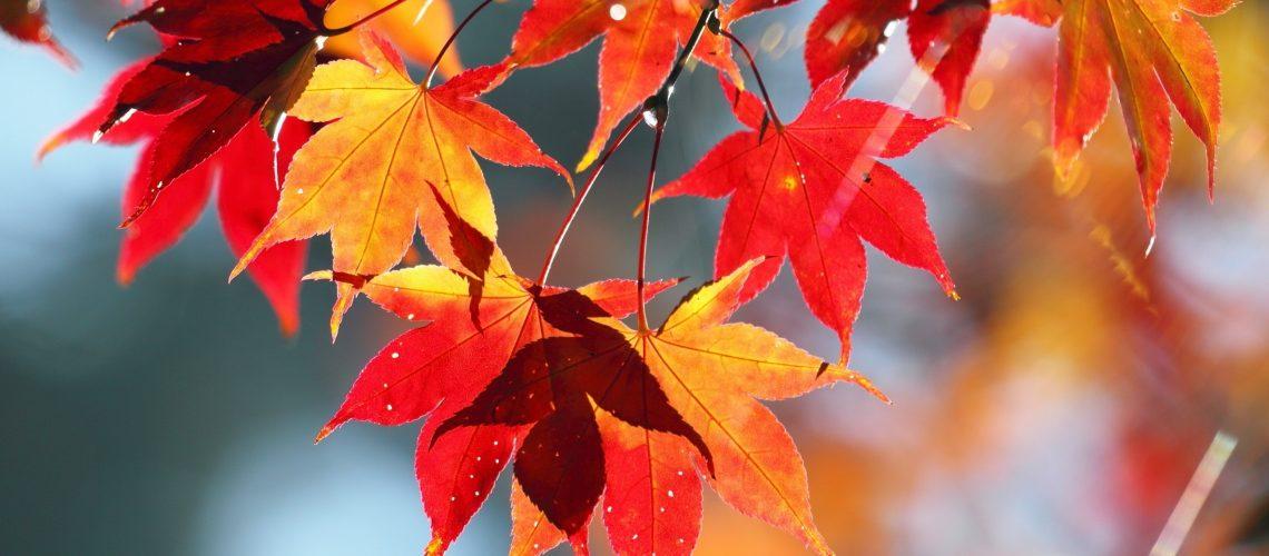 maple-leaves-37471-2560x1600